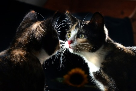 cat looking into mirror
