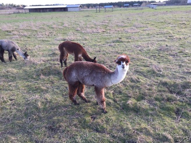 alpaca posing 2 copy