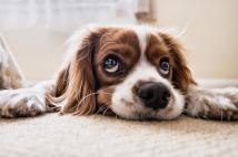 dog-puppy eyes