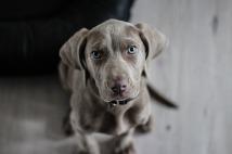 weimaraner-puppy