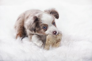 dog chewing on toy