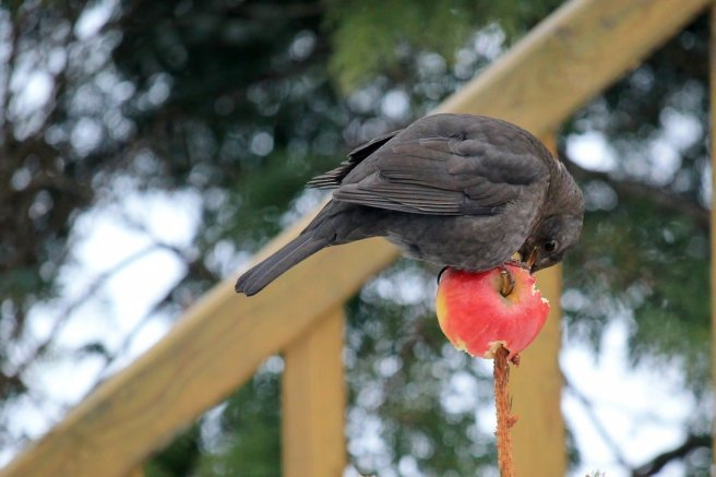 bird-feeding apple